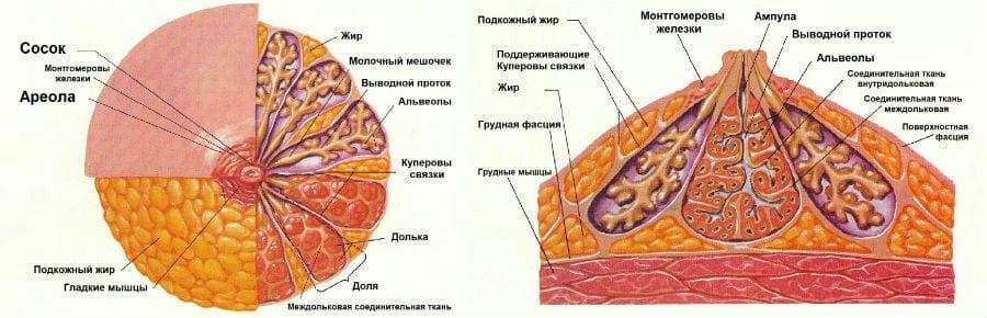 Строение молочной железы и соска