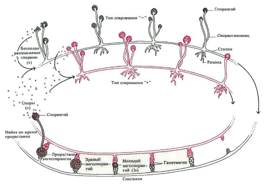 Размножение грибков - схема