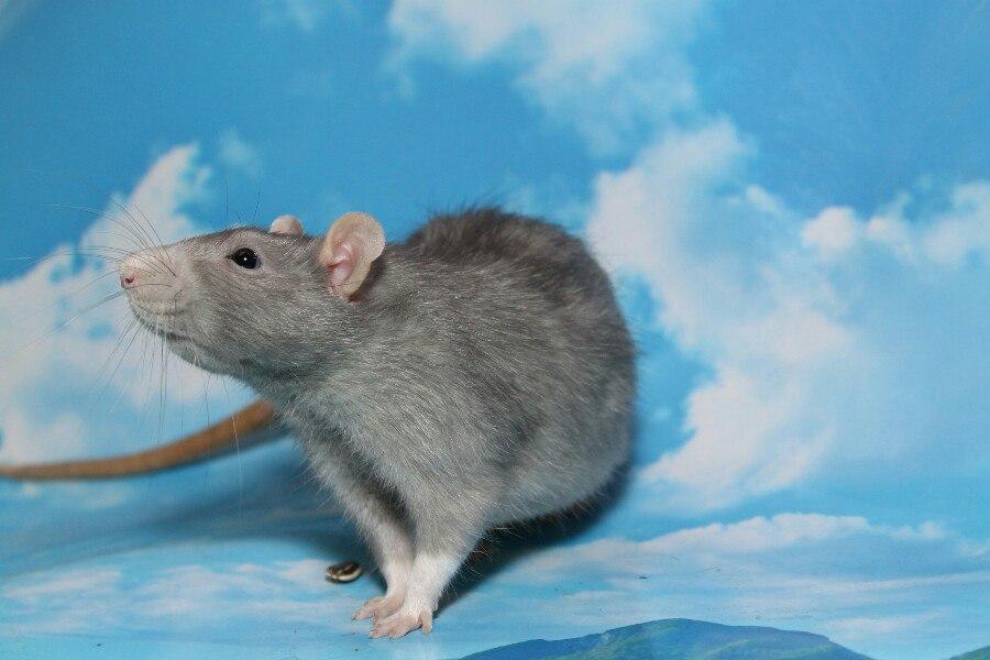 Европу ждет новая «чума» из-за крыс