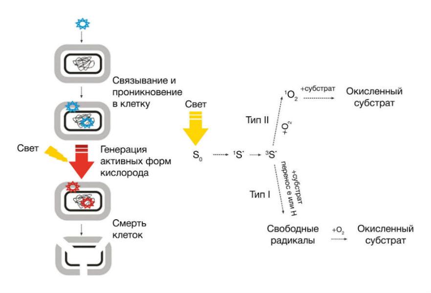 Реализация фотодинамических эффектов на молекулярном уровне