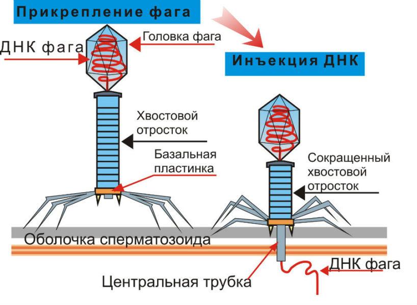 Прикрепление фага к ДНК