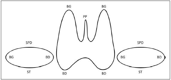 Схема щитовидной железы для указания местоположения очаговых поражений