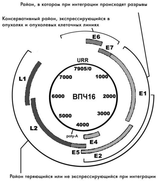 Схематическое изображение генома ВПЧ тип 16