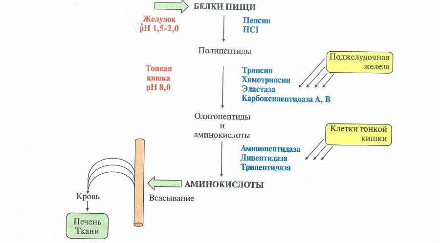 Переваривание белков в организме человека
