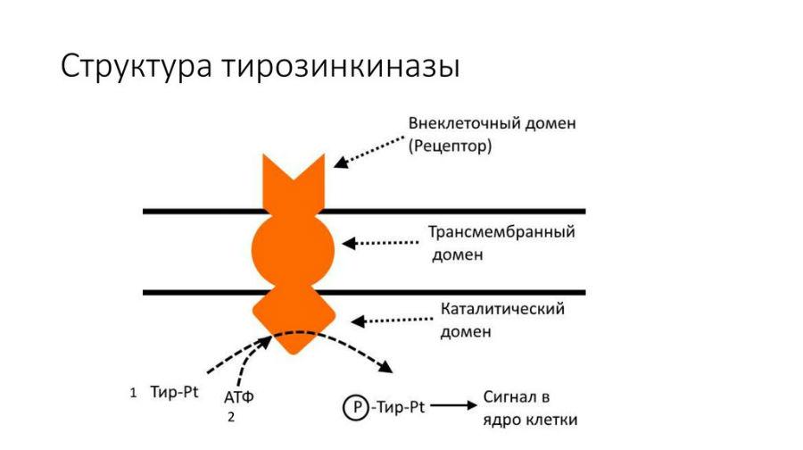 Структура тирозинкиназы
