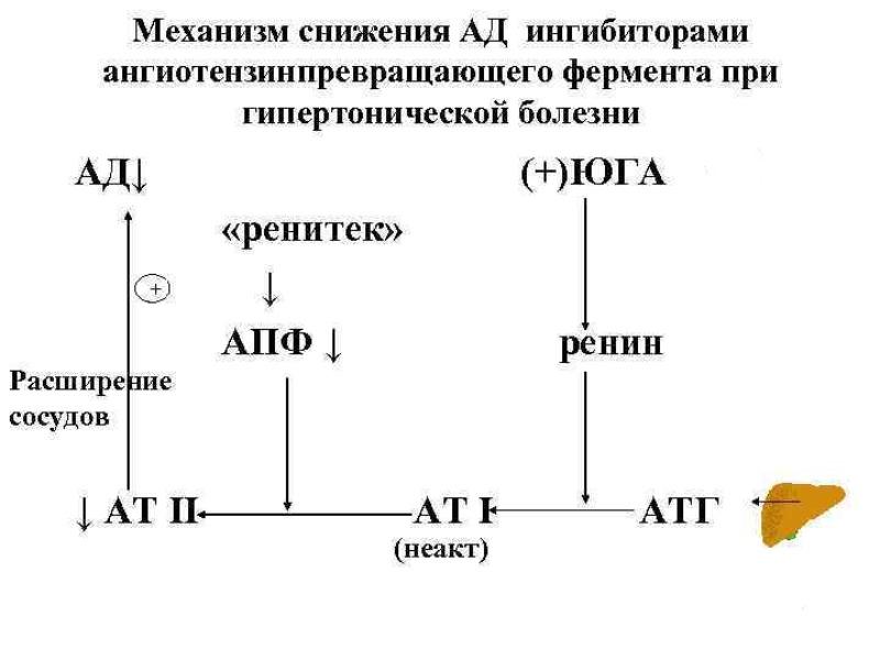 Механизм снижения АД ингибиторами ангиотензинпревращающего фермента при гипертонической болезни